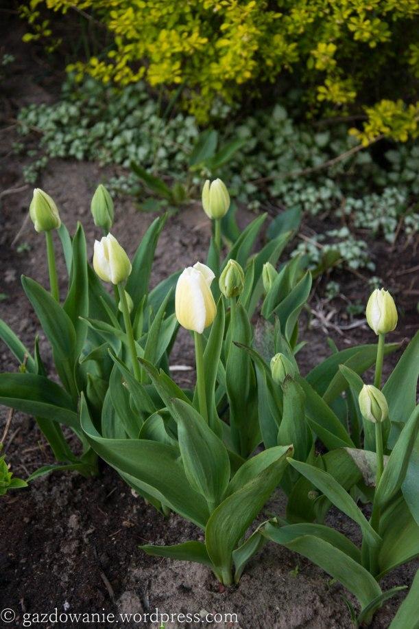tulips_2015_01