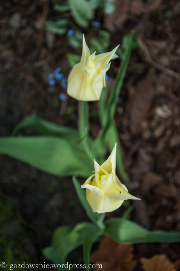 tulips_2015_011